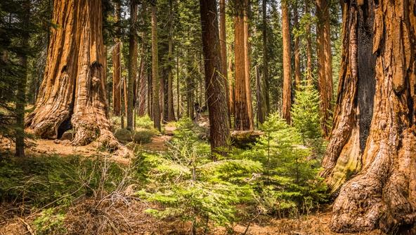 Sequoia National Park Trees